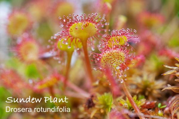 sundew plant, drosera rotundifolia