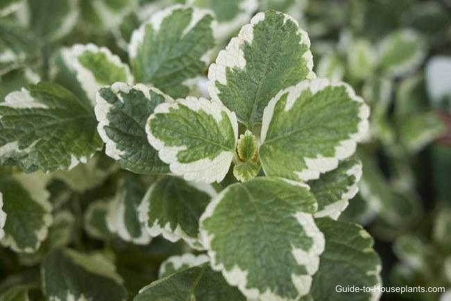 swedish ivy, swedish ivy plant, ivy plant care, ivy house plants