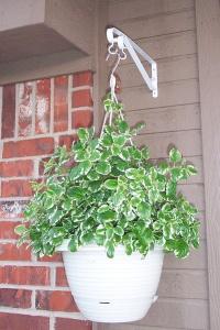 swedish ivy, swedish ivy plant, ivy house plants