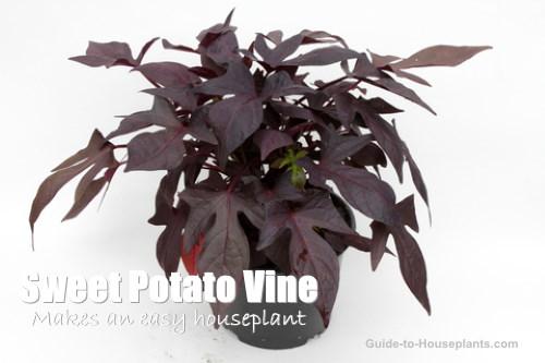 Growing Ornamental Sweet Potato Vine As Houseplants