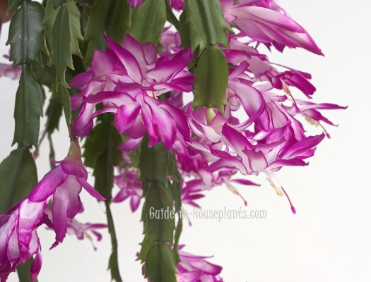 thanksgiving cactus, thanksgiving cactus care, holiday cactus, schlumbergera