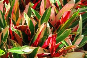 ti plants, good luck tree, hawaiian ti
