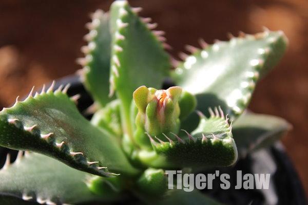 tiger's jaw, faucaria tigrina, rare succulent