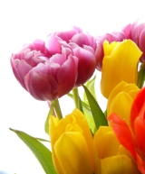 tulips, flower bulbs for sale