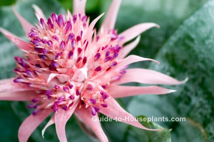 urn plant, bromeliad, aechmea fasciata