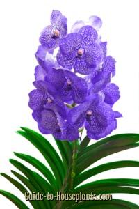 vanda orchid, vandas, vanda orchid care
