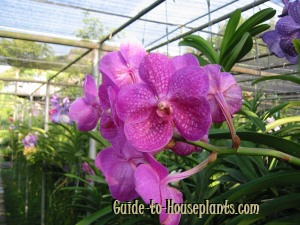 3dc8fcb8044650 Vanda Orchid Indoor Care Tips