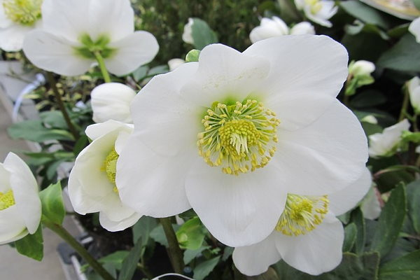 White Hellebore Plant Care How To Grow Helleborus Niger Indoors