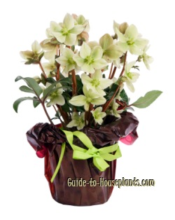 helleborus niger, white hellebore, hellebore plant
