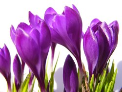 Crocus Bulbs Spring Flowering Plants Winter