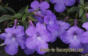 achimenes, achimenes plant, achimenes flowers