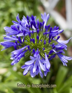 african lily, lily of the nile, agapanthus africanus