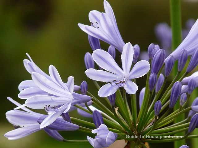 african lily, african lily flowers, agapanthus africanus
