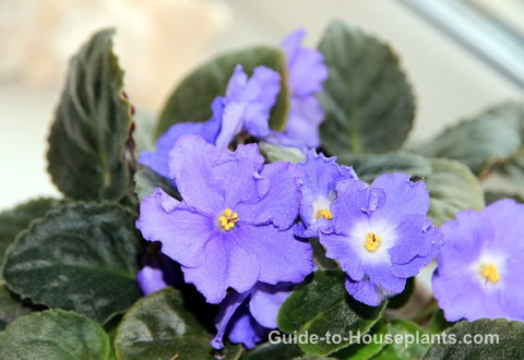african violets, indoor house plants