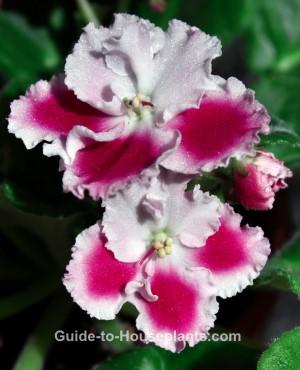 african violet plants, african violets, caring for african violets, how to grow african violets, saintpaulia
