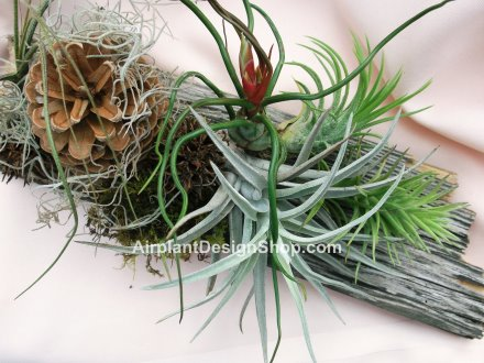 air plant, bromeliad care, tillandsia ionantha, tillandsia
