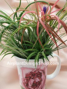 airplant, tillandsia