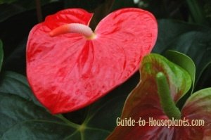 anthurium plant, anthurium growing, exotic flowers