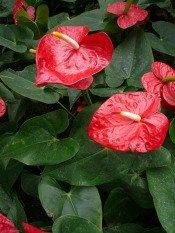 anthurium care, pictures of anthurium, anthurium growing