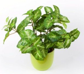 arrowhead plant, syngonium podophyllum, house plant, common house plants