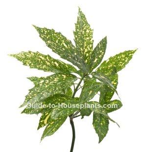 aucuba japonica, japanese laurel, japanese aucuba, spotted laurel, gold dust plant