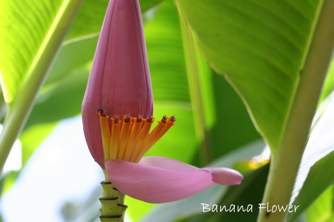 Banana plant, growing banana plants, dwarf banana plant