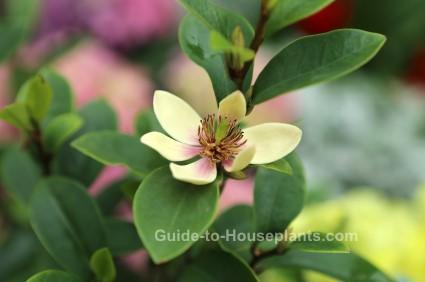 banana shrub, fragrant house plant, magnolia figo, michelia figo
