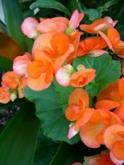 begonia care, reiger begonia, tuberous begonia