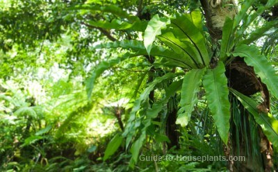 bird nest fern, tropical rainforest plants