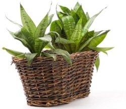 mother in law's tongue, birds nest sansevieria, sansevieria, succulent house plants