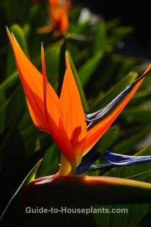 bird of paradise plant, bird of paradise plant care, strelitzia reginae, growing bird of paradise
