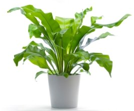 bird nest fern, asplenium nidus, fern house plant