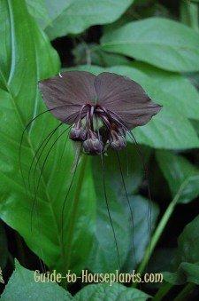 bat flower, bat plant, tacca chantrieri