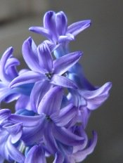 growing hyacinths, forcing hyacinth flower