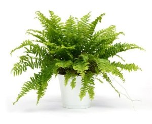 boston ferns, common house plants, caring for boston ferns, nephrolepsis exaltata