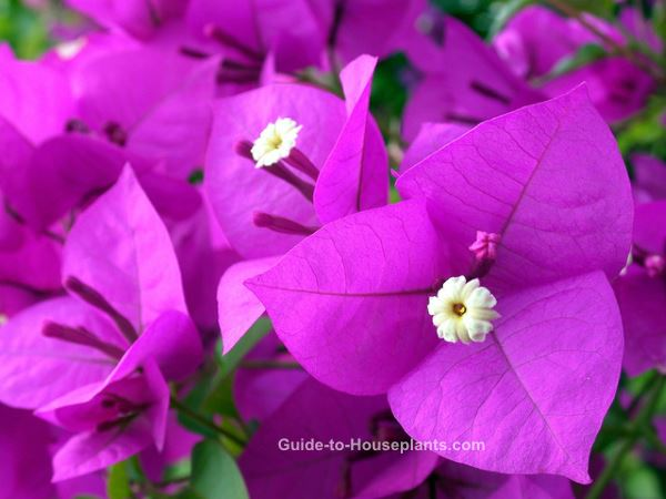 bougainvillea, bougainvillea plant, bougainvillea flowers, tropical flowers