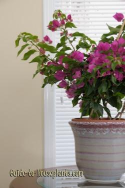 bougainvillea plant, bougainvillea care, bougainvillea flowers