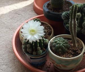 cactus dish garden, succulent gardens