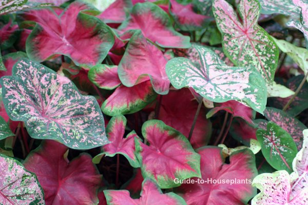 caladium plants, caladium bulbs, caladium varieties, grow caladiums