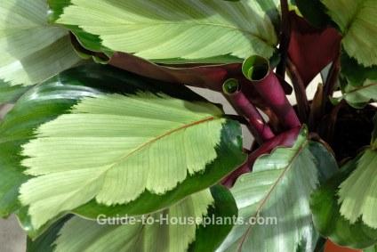 corona prayer plant, calathea corona
