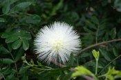 powder puff tree, calliandra haematocephala, Calliandra haematocephala 'Alba'