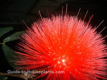 rare tropical flower, calliandra haematocephala, powder puff plant