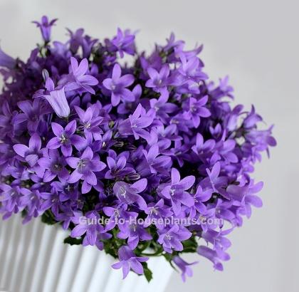 campanula flowers, campanula isophylla, bellflowers