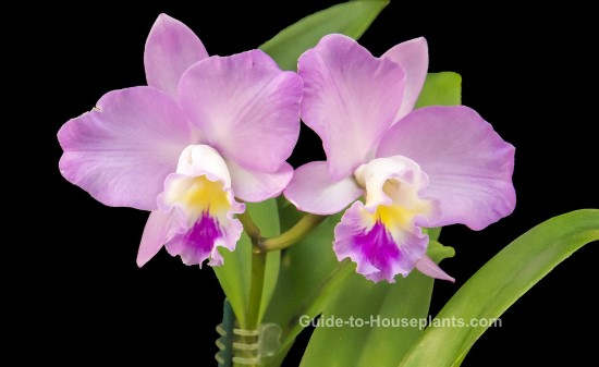 cattleya orchids, growing orchids indoors, caring for cattleya, cattleya care