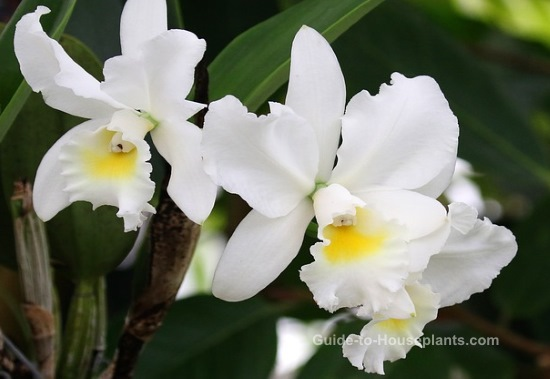 cattleya orchids, growing orchids, caring for orchids, white orchids