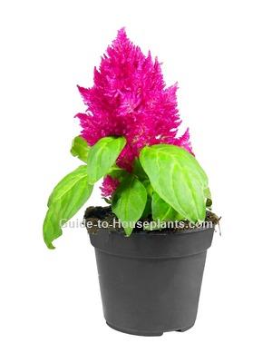 celosia plant, celosia flower, celosia argentea