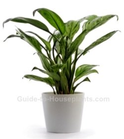 chinese evergreen, aglaonema, common house plants, low light house plants