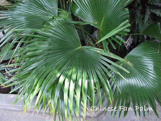 chinese fan palm, livistona chinensis, fan palm trees, indoor palms