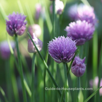 chive flowers, chive plants, growing chives, how to grow chives