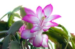 christmas cactus care, flowering indoor plants, indoor flowering plants